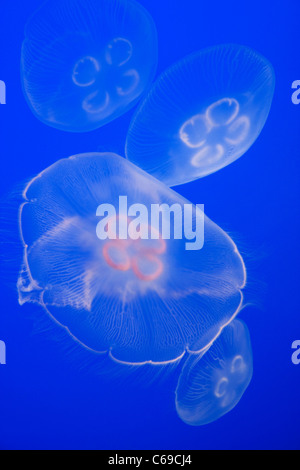 Floating Moon Jellyfish - Stock Photo