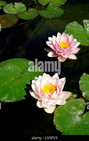 Nymphaea 'Darwin' water lilies at Palmengarten (botanical gardens) in Frankfurt am Main. - Stock Photo