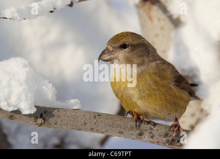 Common Crossbill, Red Crossbill (Loxia curvirostra). Female perched on a snowy twig. - Stock Photo