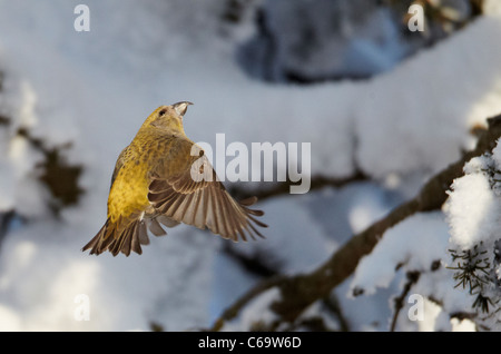 Common Crossbill, Red Crossbill (Loxia curvirostra). Female in flight. - Stock Photo