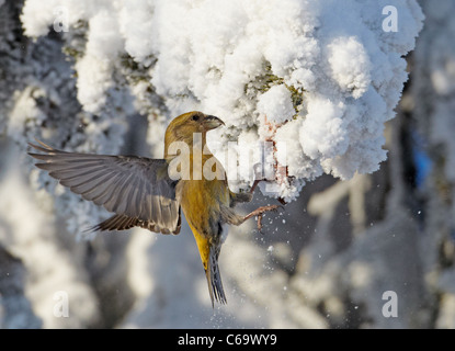 Common Crossbill, Red Crossbill (Loxia curvirostra). Female foraging in a snowy spruce. - Stock Photo