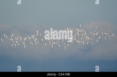 Cattle Egret, Buff-backed Heron (Bubulcus ibis, Ardeola ibis). Flock in flight. Hungary - Stock Photo