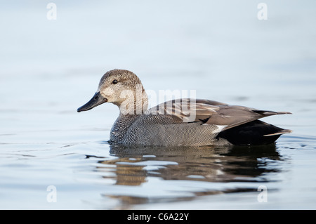 Gadwall (Anas strepera), drake on water - Stock Photo