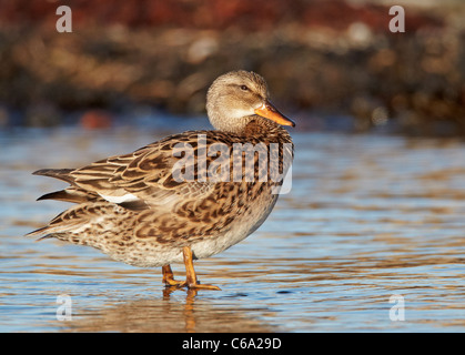 Gadwall (Anas strepera), female standing in shallow water. - Stock Photo