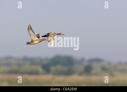 Gadwall (Anas strepera), pair in flight. - Stock Photo