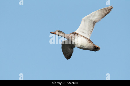 Gadwall (Anas strepera), female in flight. - Stock Photo