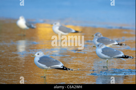 Common Gull (Larus canus). Group in non-breeding plumage standing on ice. - Stock Photo