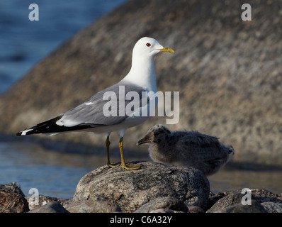 Common Gull (Larus canus). Adult with chick standing on a rock. - Stock Photo