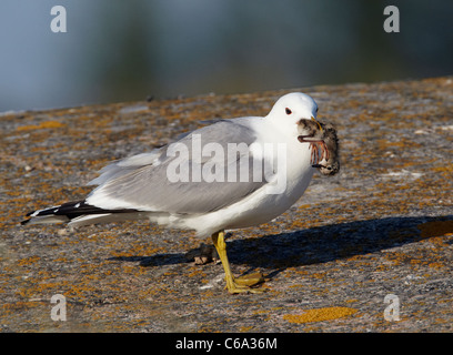 Common Gull (Larus canus). Adult with Redshank chick (Tringa totanus) in its beak. - Stock Photo