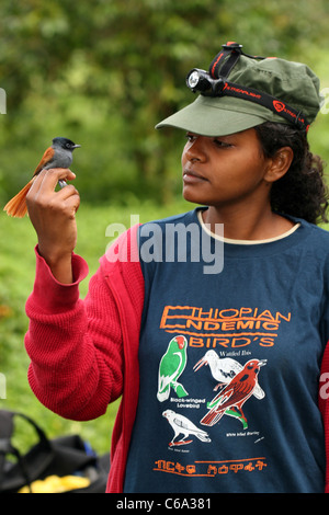 Ethiopian bird researcher with African Paradise Flycatcher, Terpsiphone viridis, Ethiopia - Stock Photo