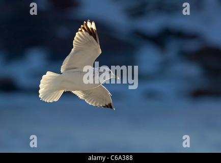 Common Gull (Larus canus) in non-breeding plumage in flight. - Stock Photo