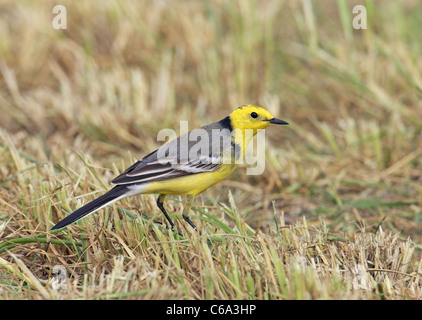 Citrine Wagtail (Motacilla citreola). Male standing in grass. - Stock Photo