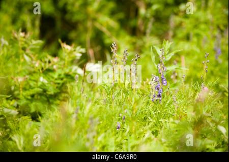 Monkshood, Aconitum napellus, in bloom - Stock Photo