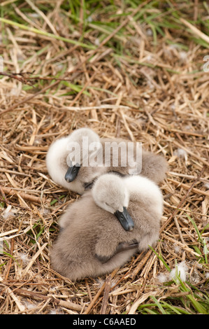 Mute Swan cygnets, Cygnus olor, at Slimbridge WWT reserve in Gloucestershire Stock Photo