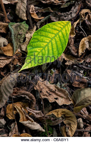 Juglans ailanthifolia . Japanese Walnut tree leaves on woodland floor - Stock Photo