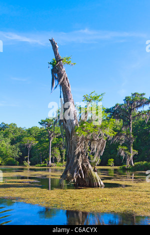 Very old bald cypress tree (Taxodium distichum) along the Wakulla River at Wakulla Springs State Park - Stock Photo