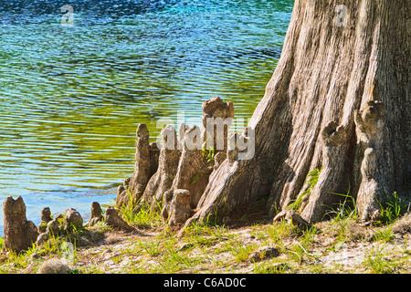 Cypress 'knees' of bald cypress tree (Taxodium distichum) along the Wakulla River - Stock Photo