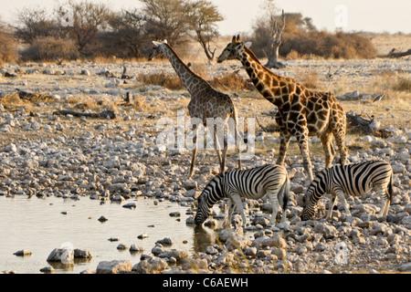 Giraffes and zebras drinking at waterhole, Okaukuejo, Etosha NP, Namibia - Stock Photo