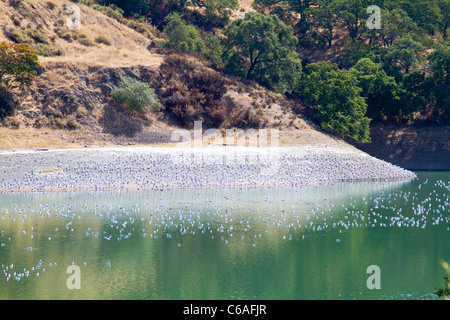 Gulls roosting at Almaden Reservoir in San Jose California - Stock Photo