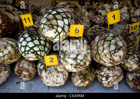 Agave cores for production of tequila at Jose Cuervo Plant in Tequila - Stock Photo