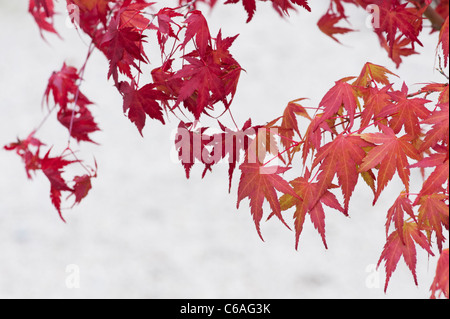 Acer Palmatum. Bonsai Japanese maple tree against light background. Autumn colours - Stock Photo