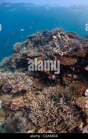 School of Blue green Damselfish, Chromis viridis in Staghorn Coral, Acropora sp., at coral reef, North Male Atoll, - Stock Photo