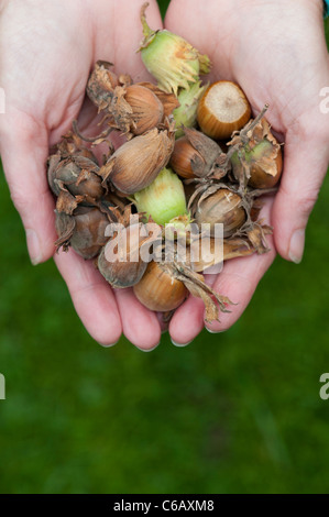 Woman with a handful of Hazelnuts / Cobnuts - Stock Photo