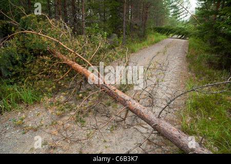 Forest road closed due to fallen trees after strong winds , Finland - Stock Photo