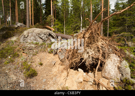 Storm damages in the forest , fallen pine tree , caused by strong winds , Finland - Stock Photo