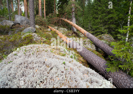 Storm damages in the forest , fallen pine trees , caused by strong winds , Finland - Stock Photo