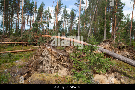 Storm damages in the pine forest , caused by strong winds , Finland - Stock Photo