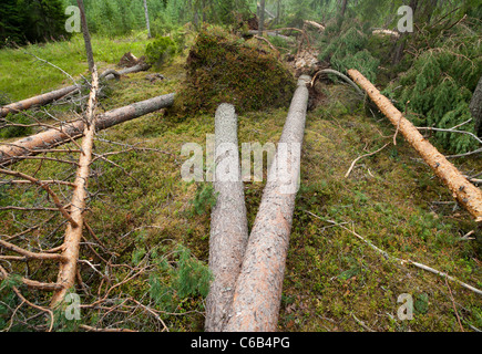 Storm damages in the forest , caused by strong winds , fallen pine trees ( pinus sylvestris )Finland - Stock Photo