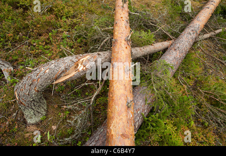 Storm damages in the forest , caused by strong winds , Finland - Stock Photo