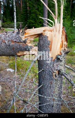 Cracked spruce ( picea abies ) tree trunk . Storm damages in the forest , caused by strong winds , Finland - Stock Photo