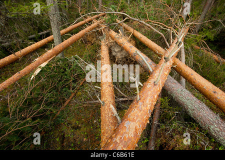 Storm damages in the forest , fallen pine ( pinus sylvestris ) trees , caused by strong winds , Finland - Stock Photo