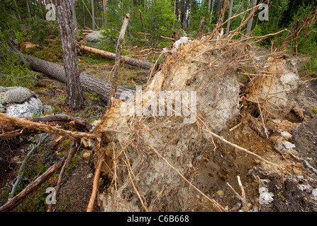 Roots and root stalk of pine trees , felled by storm winds , Finland - Stock Photo