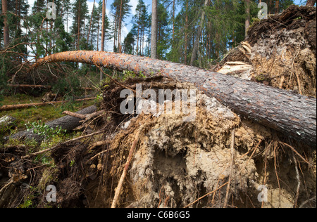 Storm damages in the forest , trunk of a fallen pine tree  , caused by strong winds , Finland - Stock Photo