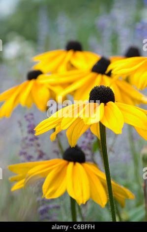 Rudbeckia 'Indian Summer' flowers - Stock Photo