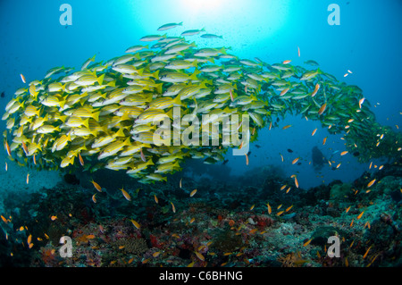 Large school of Bluelined Snappers, Lutjanus kasmira, over reef, silhouette of diver in background, North Male Atoll, - Stock Photo