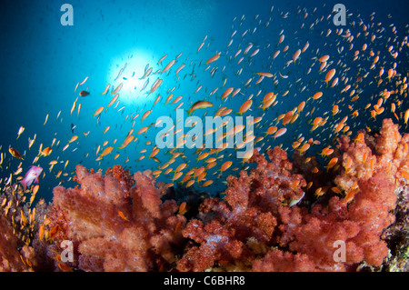 Large school of Scalefin Anthias, Pseudanthias squamipinnis, over Soft Coral garden, North Male Atoll, Maldives - Stock Photo