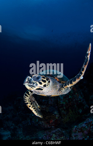 Hawksbill Turtle, Eretmochelys imbricata, swimming over reef, one flipper up, portrait, front view, North Male Atoll, - Stock Photo
