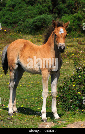 A New Forest foal in the summer in vertical format Hampshire UK - Stock Photo