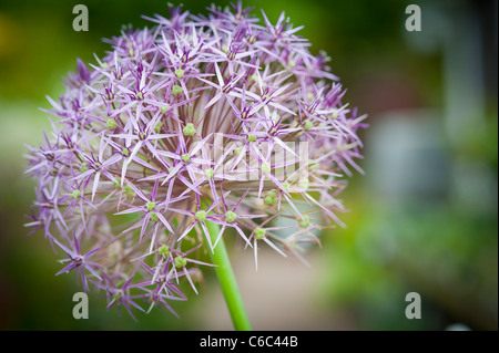 A macro close up of an extraordinary pink and purple Allium 'Christolphi' in an English garden - Stock Photo