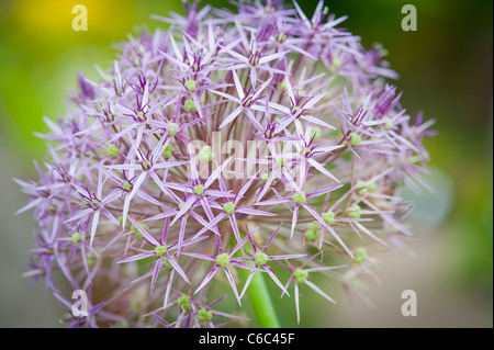 A macro close up of an extraordanairy pink and purple Allium 'Christolphi' in an English garden - Stock Photo