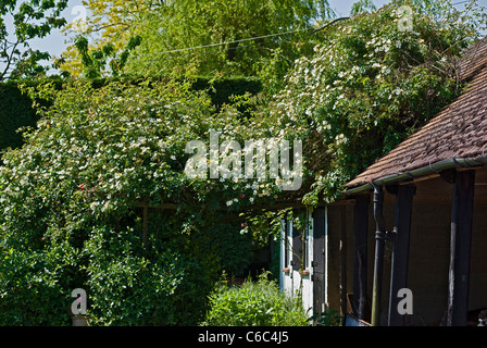 Rose Wedding Day growing extensively in a Wiltshire garden - Stock Photo