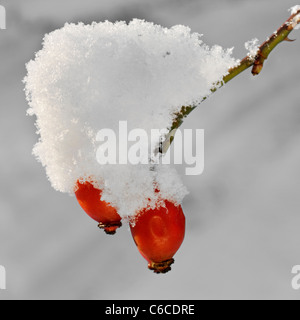 Rose hips covered in snow in winter, Belgium - Stock Photo