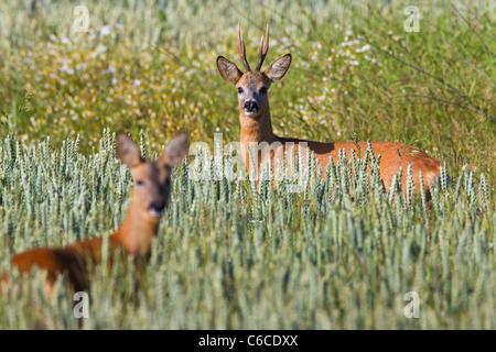 Roe deer (Capreolus capreolus) roebuck with female in field, Germany