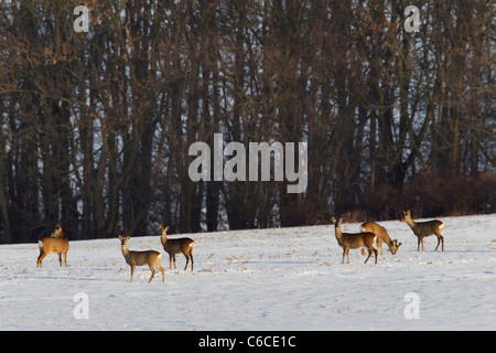 Roe deer (Capreolus capreolus) herd feeding in snow covered field along forest in winter, Germany - Stock Photo