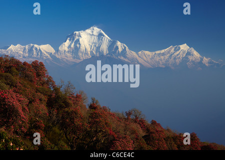 Rhododendron forests in full bloom at a viewpoint near Poon Hill, Annapurna trek, Nepal - Stock Photo