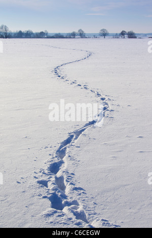 Wild boar (Sus scrofa) track running zigzag  through field in the snow in winter, Germany - Stock Photo